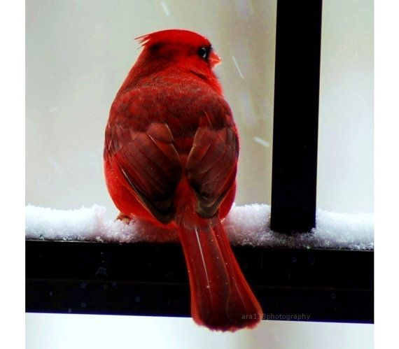 Winter Wonderland ...Red Cardinal Photo Nature Picture Animal by ara133photography