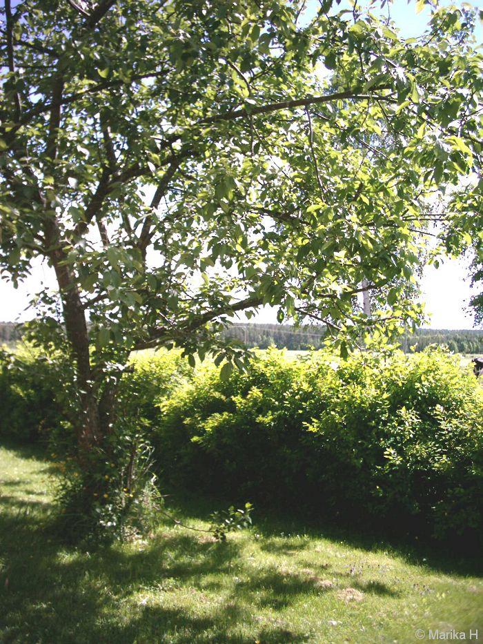 Summer, apple tree, Finland