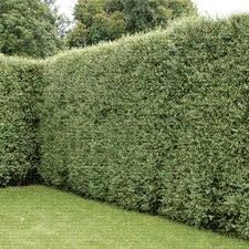 pittosporum silver sheen - hedge for privacy barrier on side fence