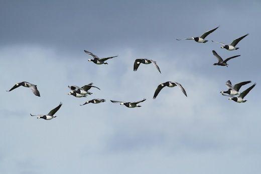 Vogels tellen tijdens Euro Birdwatch  Gewapend met telescopen en verrekijkers, notitieboekjes en gsm-telefoons, maar ook met thermoskannen en proviand trekken vogelaars het veld in. Op ruim 150 locaties kunt u ze die dag tegenkomen.  http://www.gezondheidskrant.nl/58821/vogels-tellen-tijdens-euro-birdwatch/
