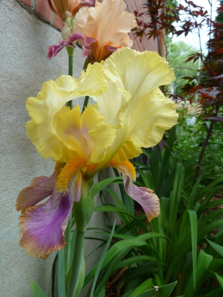 Un iris bicolore
