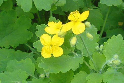 Чистотел: лечебные свойства сорной травы