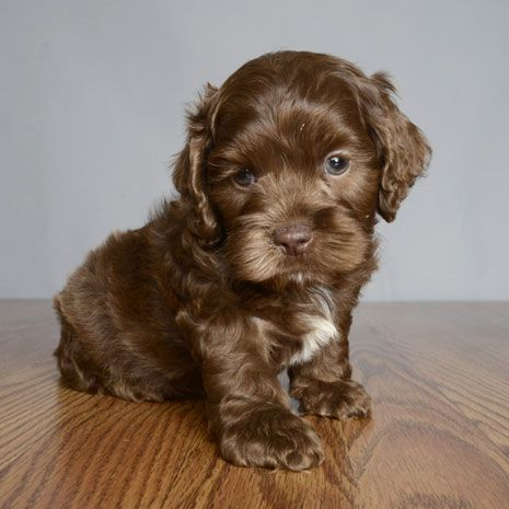 Is this cutie a chocolate cocker spaniel or chocolate morkie?  Either way it's cute as all get-out :)