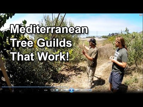 Permaculture Tip of the Day - Mediterranean Tree Guilds That Work! - School of Permaculture