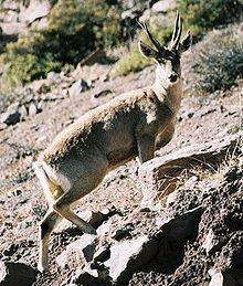 Taruca / North Andean Deer (Hippocamelus antisensis)