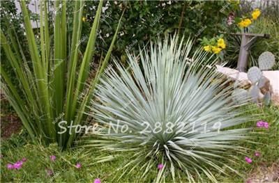 20 Pcs Blue Yucca Rostrata Seeds Old Man Beaked Yucca Exotic Seeds Rare Evergreen , Hardy Fresh The Air Garden Plants