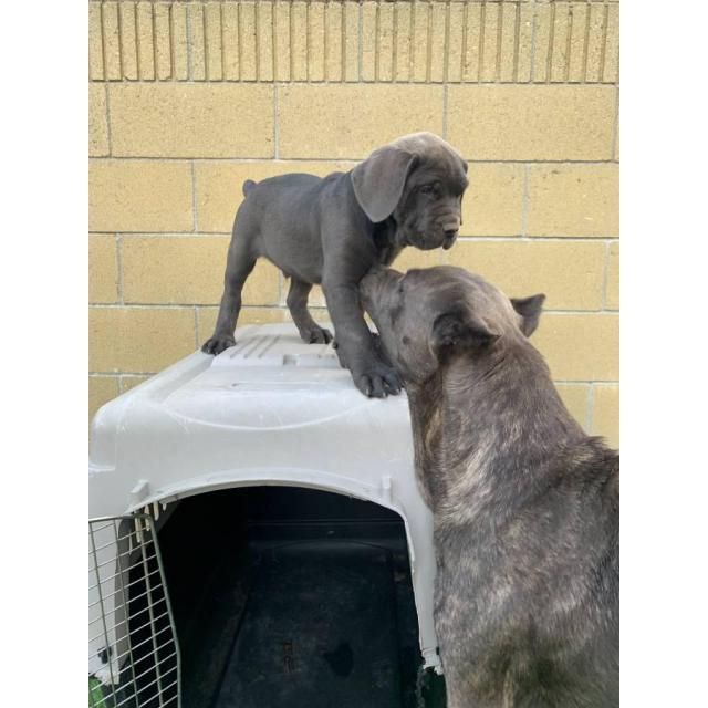 Cane Corso Los Angeles I Have 5 Pups Excluded From My Litter All Pups Are Blue Except One Is Brindle Mother And Father O Cane Corso Cane Corso Puppies Brindle