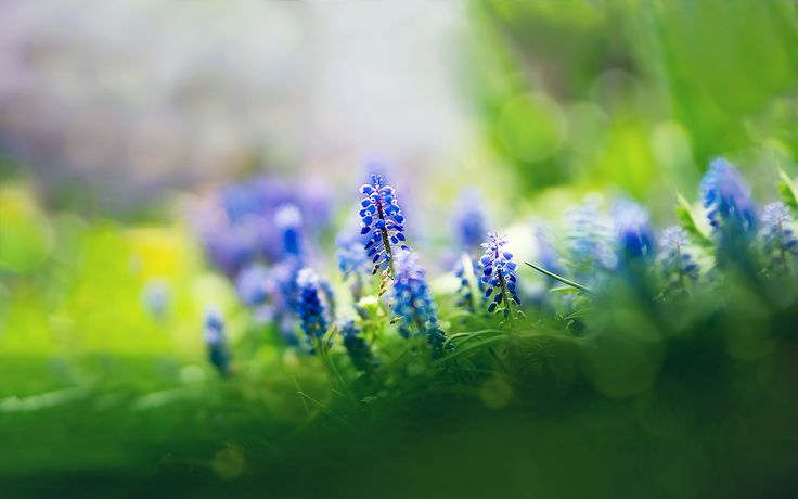 Purple Muscari Flowers Background http://windowsdesktopbackgrounds.com/24407/purple-muscari-flowers-background.html