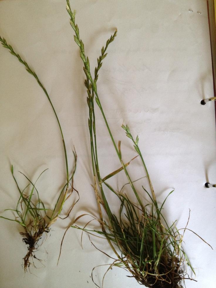 Perennial Ryegrass, Lolium perenne, seeds alternating on the stalk.