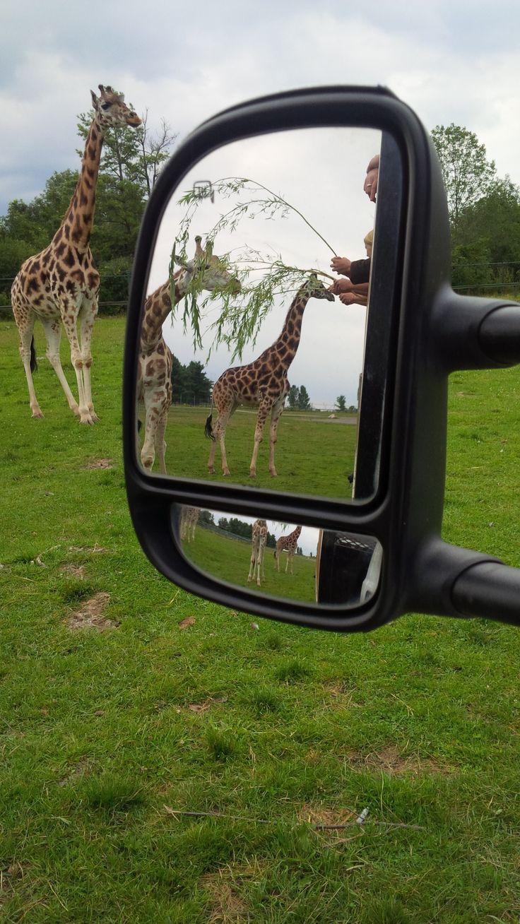 Hand Feed Giraffe at African Lion Safari #behindthescenes #viptour #safari