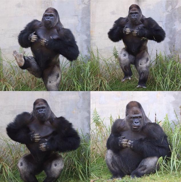 Do gorillas have penis