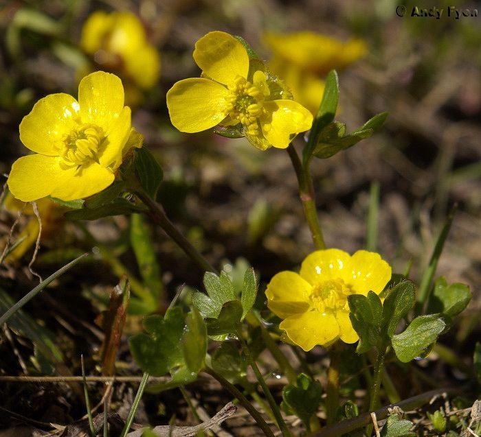 alpine_buttercup_ranunculus_eschscoltzii_yellow_yukon_carcross_sugarloaf_mountain_edited-1.jpg (700×637)
