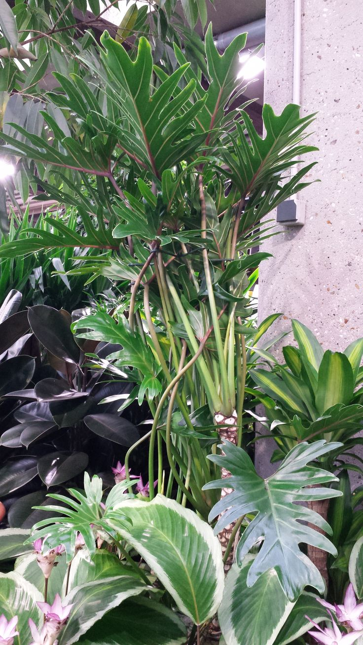 Philodendron xanta 89 chez Truffaut : a me plat bien, comme grande  plante pour. Tropical GardensTropical FlowersBalinese GardenFoliage  PlantsPotted ...