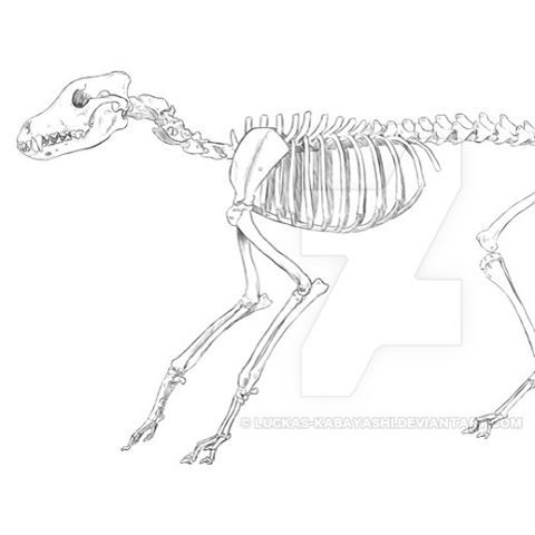 This is a tiber wolf skeleton, drawn on photoshop. It's a part of a school project about anatomy and art. #drawing #digital #timber #wolf #skeleton #anatomy #school #project #skull