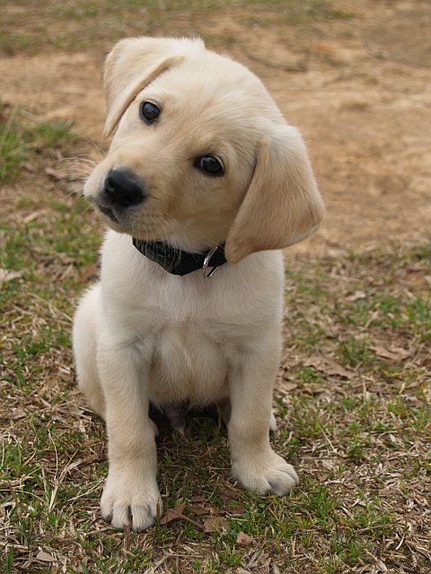 love my yellow lab! (even though this is not my yellow lab)