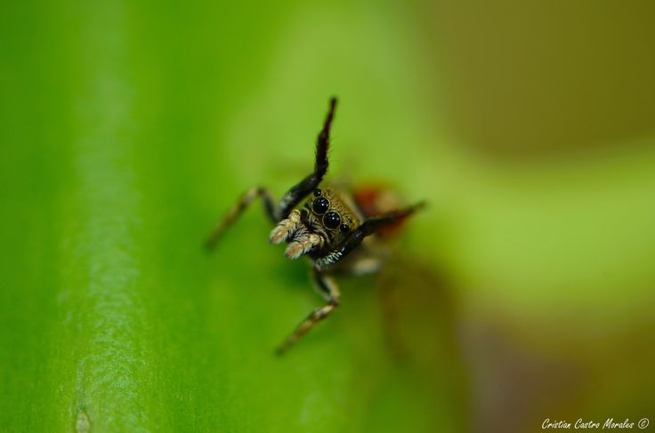 Jump spider.. by Cristian Castro Morales on 500px