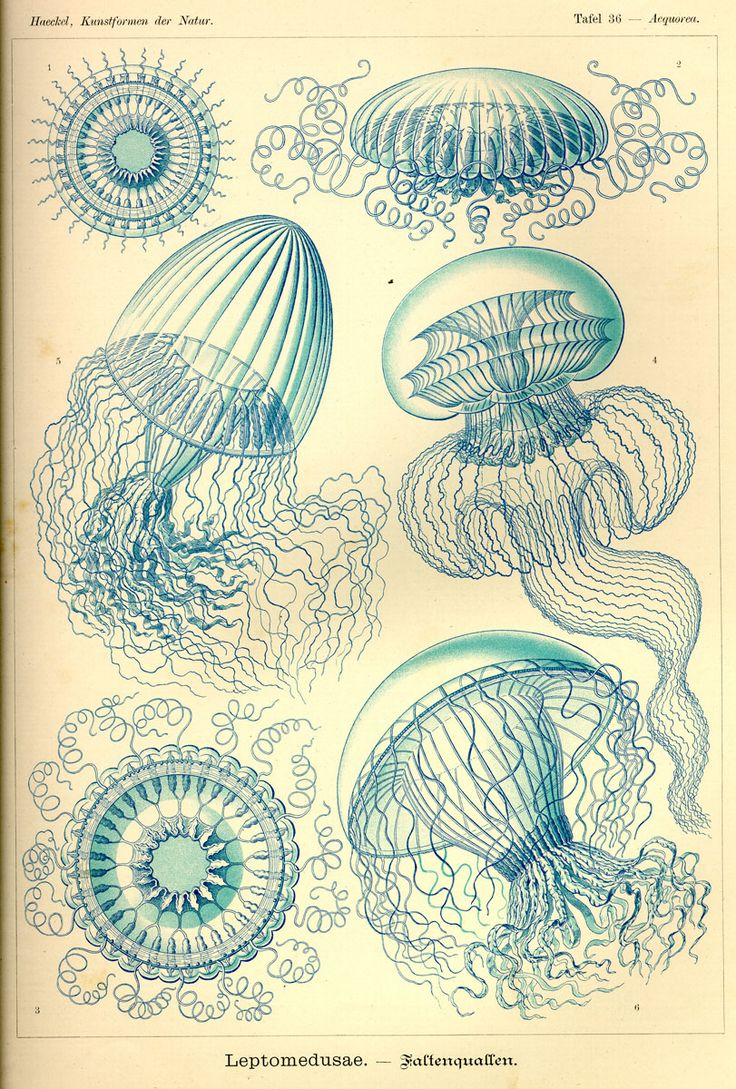 Leptomedusae via Kunstformen der Natur (1900) Illustration by Haeckel