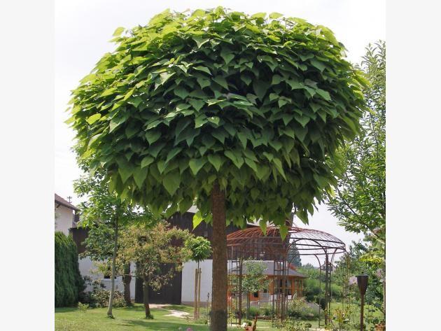 pi di 25 fantastiche idee su trompetenbaum su pinterest. Black Bedroom Furniture Sets. Home Design Ideas