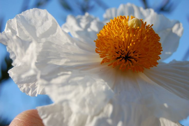 Love the matilija poppy!
