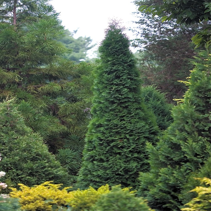 28 Best Ideas About Landscaping With Arborvitae On