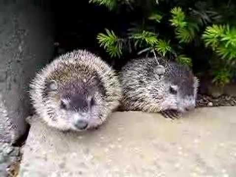 1000 Images About Groundhog Day On Pinterest Count Tis The Season And Life Cycles