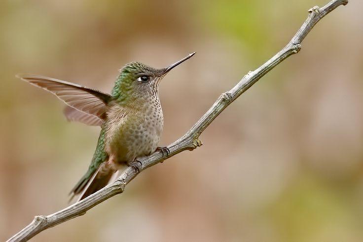 Batiendo alas: Picaflor chico