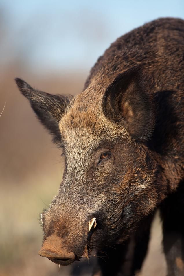 How to Stalk Wild Hogs