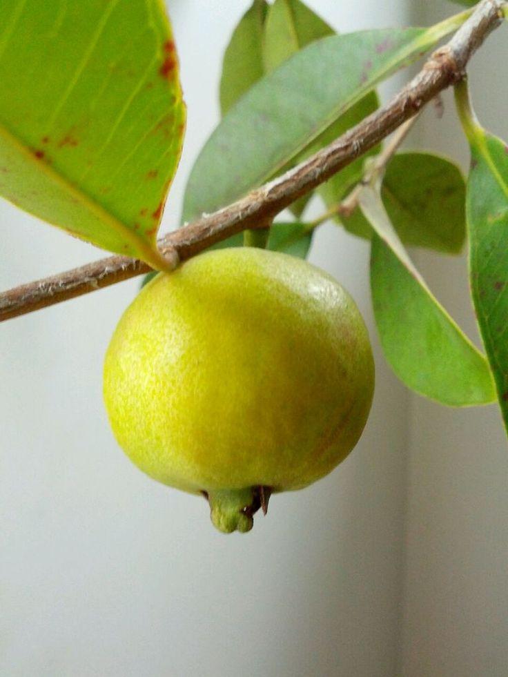 My Guava tree is producing so many Guavas - by Isabella Di Fronzo, Tsu
