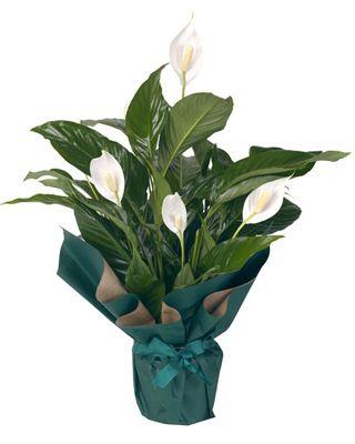 5-plantas-que-purificam-o-ar-lirio-da-paz