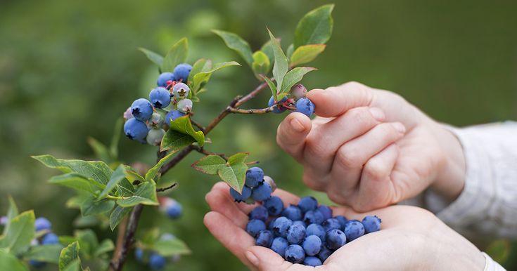 Sluta köp blåbär! Här är 5 enkla steg till hur du odlar ett oändligt förråd hemma