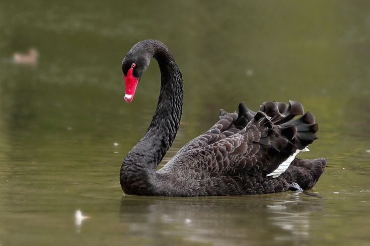 Рисунки животных, черный лебедь картинки животное