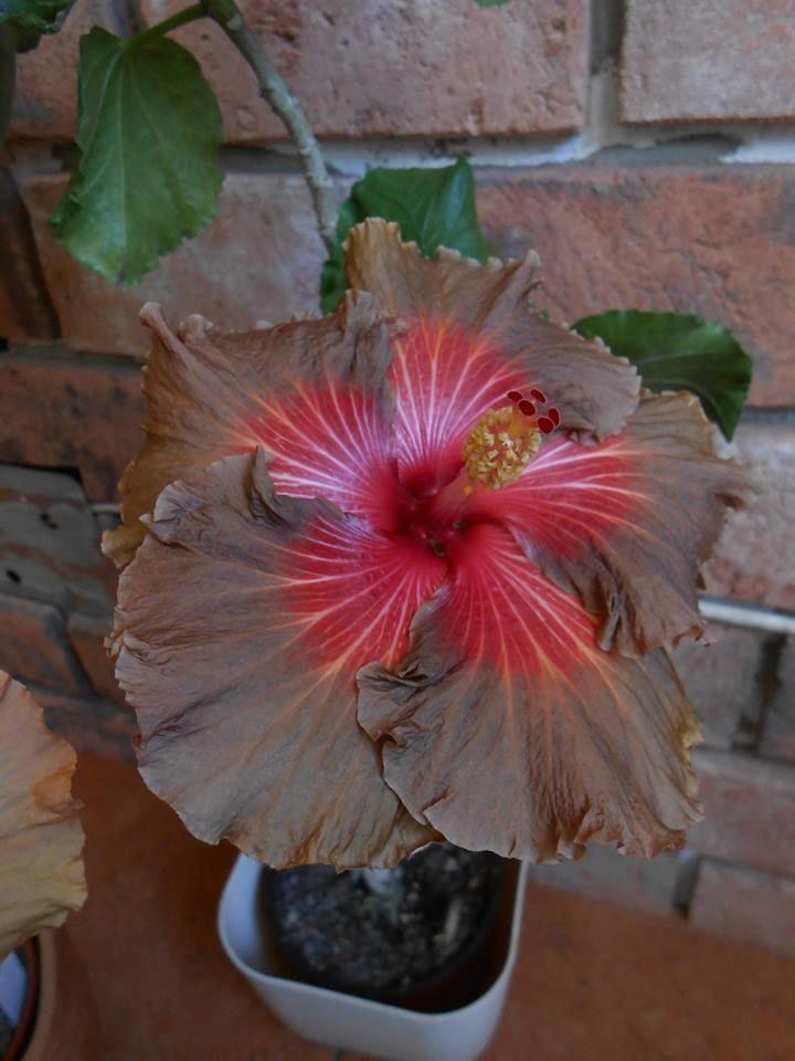 Hibiscus Flower Amazon Uk Hibiscus With Images Hibiscus Plant Hibiscus Rosa Sinensis Hibiscus