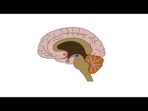 2-Minute Neuroscience: Nucleus Accumbens - YouTube
