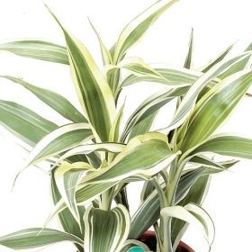 Sanderiana dracaena one of over 400 varieties from for How to take care of exotic angel plants