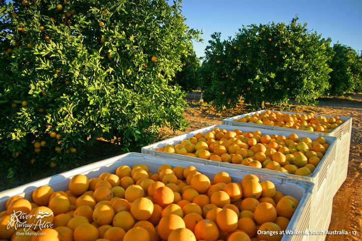 Citrus Orchard, Waikerie, SA Irrigation Farming MDB