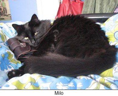 Chantilly / Tiffany cat - Milo