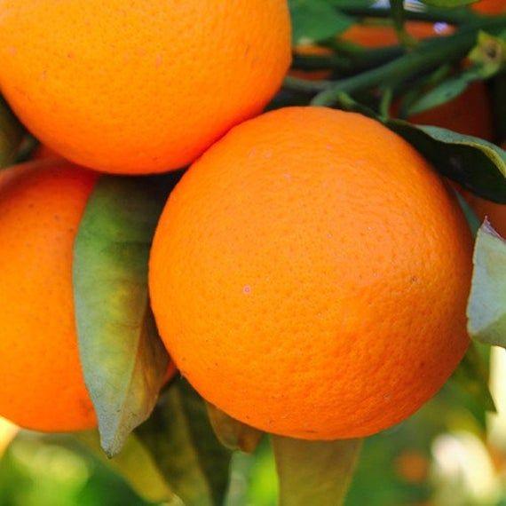 1-2 Jahre alter (1,5-2 Ft) Ruby Sweet Orange Tree, vergossen, 3 Jahre Garantie, kostenloser Versand   – Products