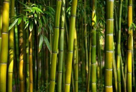 NOTÍCIAS DO TRECHO: Bambu: O poder da energia de biomassa