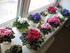 Почему зимой погибают фиалки :: Цветоводство :: KakProsto.ru: как просто сделать всё
