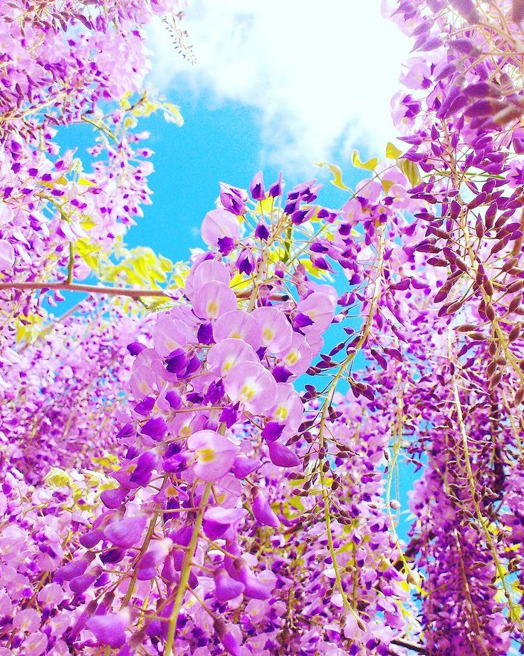 岡山、藤公園!藤の花の種類の多さは日本一。