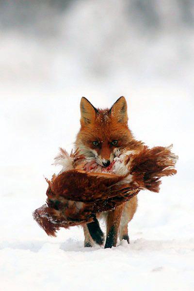 vos - jager Vossen