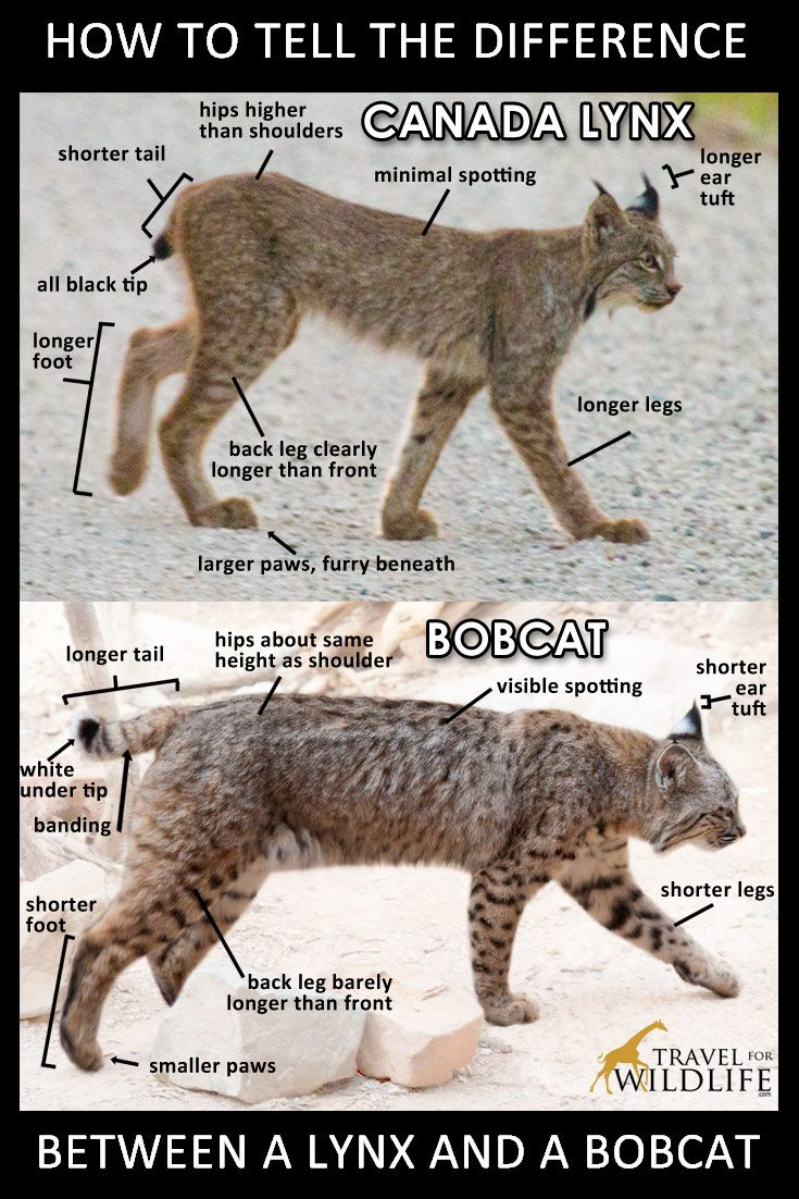 how to tell the difference between a lynx and a bobcat pinterest image