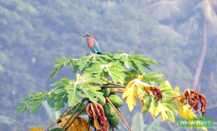 Indian Roller Feature Photography - Stray Feathers (Birds) Photo Credits: Raja Saha  http://www.dreamwanderlust.com/stray-feathers.php