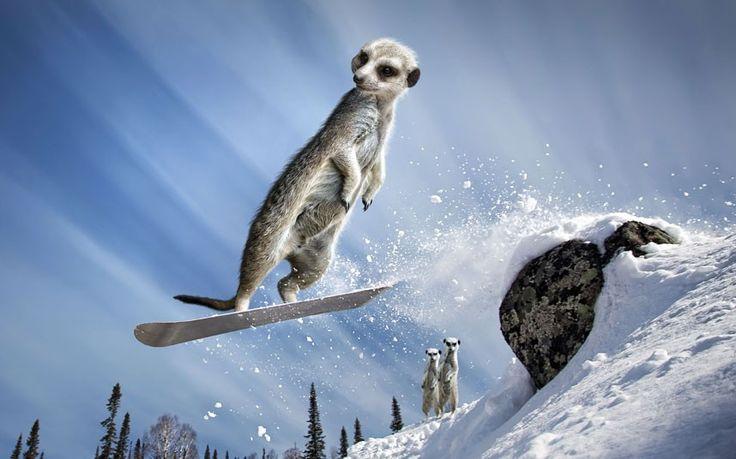 Maverick Meerkats calendar 2013 - Telegraph