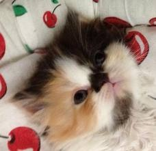 Calico Persian Kittens - Pesquisa Google