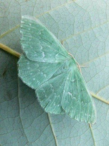 (KO) Beautiful butterfly sitting on a leaf that matches him almost perfectly…