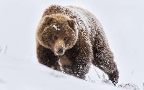 Barnamedve,medve,tél háttérkép 222897
