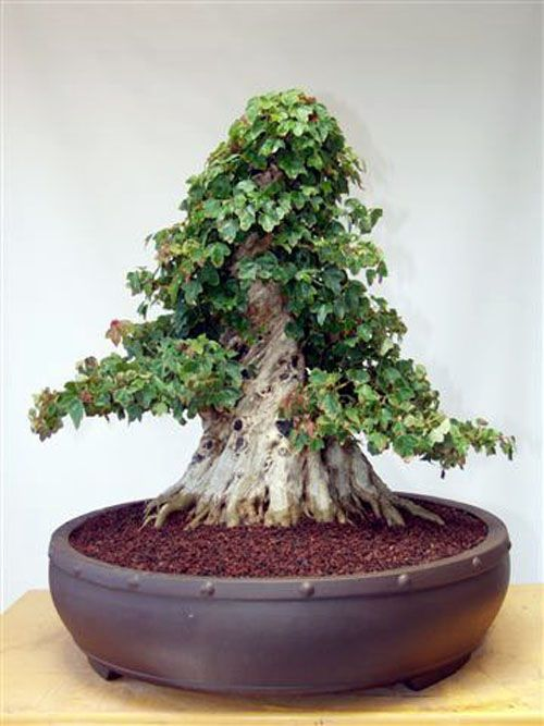 A fused trunk Trident maple in training. - It baffles me how they train the