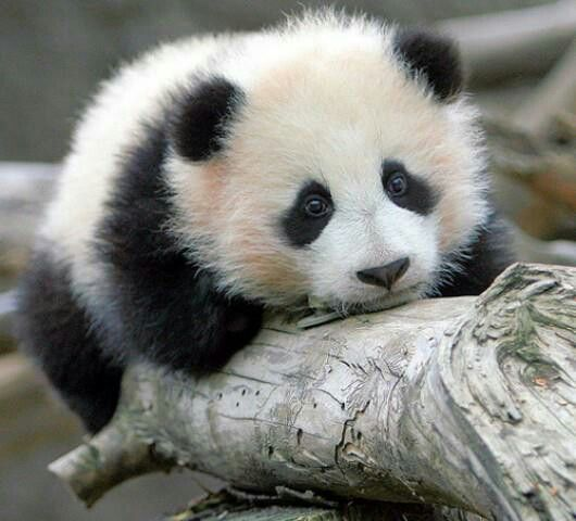 A 2007 report shows 239 pandas living in captivity inside China and another 27 outside the country