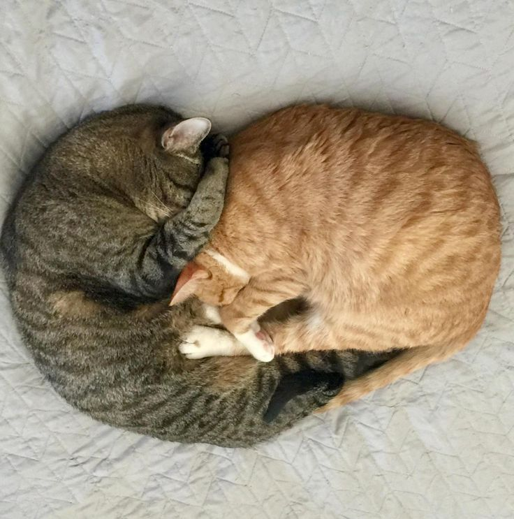 My cats sleep as a heart by Hoddema cats kitten catsonweb cute adorable funny sleepy animals nature kitty cutie ca